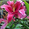 2014-07-17 11.13.26—Lilium, Asiatic hybrid, Pink-Magenta (14672728316).jpg