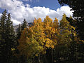2014-09-15 15 29 28 Aspens showing autumn foliage amid Engelmann Spruces along the Alpine Lakes Trail in Great Basin National Park, Nevada.JPG