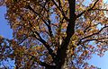 2014-10-30 11 24 56 View up into the canopy of a large oak during autumn on Lower Ferry Road in Ewing, New Jersey.JPG