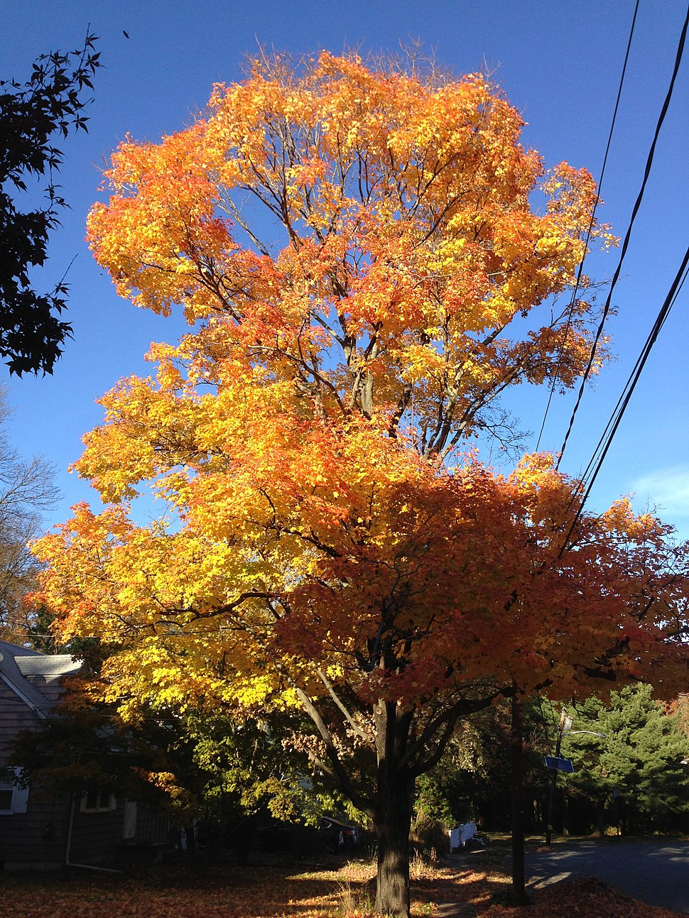 2014-11-02 15 25 30 Sugar Maple during autumn along Patton Drive in Ewing, New Jersey