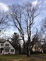 2014-12-30 11 40 17 Norway Maple along River Road (New Jersey Route 175) in Ewing, New Jersey.JPG