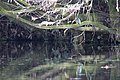 20141109 023 Kessel Weerdbeemden IJsvogel (15746993151).jpg