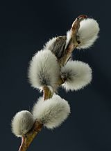 2015-02-28 Close-ups of Salicaceae flowers, Weinviertel (Producer M. Stich).jpg