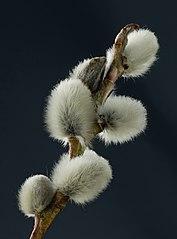 2015-02-28 Close-ups of Salicaceae flowers, Weinviertel (Producer M. Stich)