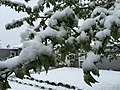 2015-05-07 07 14 42 New green leaves covered by a late spring wet snowfall on a Crabapple on Carlin Court in Elko, Nevada.jpg