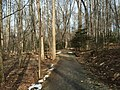 2016-02-08 12 16 36 View north near a grove of American Holly saplings along the Gerry Connolly Cross County Trail between Miller Heights Road and Vale Road in Oakton, Fairfax County, Virginia.jpg