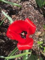 2017-03-28 15 25 23 Red Oxford Tulip blooming along Tranquility Court in the Franklin Farm section of Oak Hill, Fairfax County, Virginia.jpg