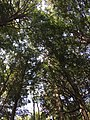 2017-09-10 12 51 52 View up into the canopy of a grove of Eastern Hemlocks between Lake Road and Spring Lake in Berlin, Rensselaer County, New York.jpg
