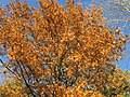2017-11-29 15 01 26 View up into the canopy of a Pin Oak in late autumn along Franklin Farm Road in the Franklin Farm section of Oak Hill, Fairfax County, Virginia.jpg