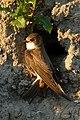 20170531 - 06.03 Oeverzwaluw (Riparia riparia) 1.jpg