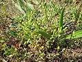 20180505Arenaria serpyllifolia1.jpg