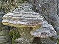 2019-04-25 (155) Fomes fomentarius (tinder fungus) at Haltgraben in Frankenfels near Schwabeck-Kreuz, Austria.jpg