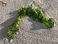 2020-10-18 16 52 07 Seaweed on the beach near East 9th Street in Barnegat Light, Ocean County, New Jersey.jpg