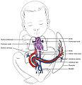 2139 Fetal Circulation.jpg