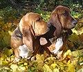 2 Basset hounds.jpg