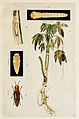 39-Indian-Insect-Life - Harold Maxwell-Lefroy - Sphenoptera-gossypii.jpg