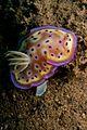 40-EastTimor-Dive Bobs-Rock 08 (Nudibranch-Chromodoris-Kuniei)-APiazza.JPG