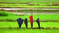 4 umbrellas of farmers, rains in Jharkhand India 2016.jpg