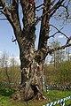 71-249-5030 Oak with Alder SAM 8656.jpg