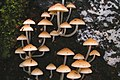 A229, Dorrigo National Park, Australia, mushrooms, 2007.JPG