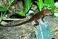 ANOLE, BROWN? (Anolis cristatellus) (5-11-14) fairchild, tropical gardens, miami-dade co, fl (2) (14019368809).jpg
