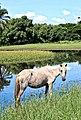 A égua e o lago.jpg