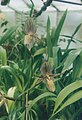 A and B Larsen orchids - Paphiopedilum St Swithin 802-3.jpg
