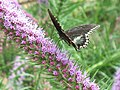 A butterfly pollinating gayfeather blooms. (24815615910).jpg