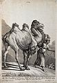 A camel lifting its tail to urinate whilst walking with its Wellcome V0021134EL.jpg