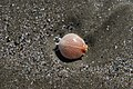 A crab shell on the beach - panoramio.jpg