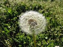 Dandelion Wiktionary