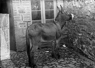 A donkey belonging to Dr Jones, Llanboidy