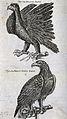 A golden eagle (Aquila chrysaetus) and white-tailed eagle (H Wellcome V0022305.jpg