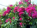 A view of Bougainvillea flower.jpg