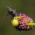 A yellow crab spider Misumena vatia with fly.jpg