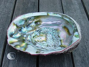 Abalone - The iridescent surface inside a red abalone shell from Northern California (the adjacent coin is 25 mm in diameter)