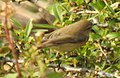 Aberrant Bush Warbler Horornis flavolivaceus by Dr. Raju Kasambe DSCN3403 (1).jpg