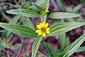 Aberts creeping zinnia Sanvitalia abertii (9874939256).jpg