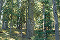 Abies lasiocarpa arizonica2.jpg