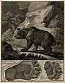 Above, a bear in a rocky landscape, below, its footprints. E Wellcome V0021099.jpg