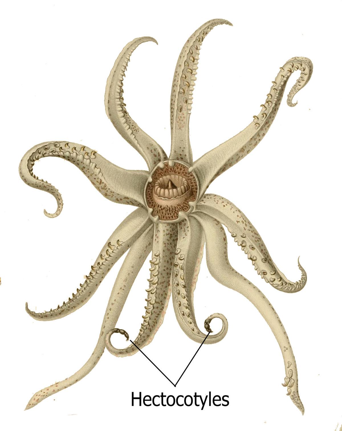 Hectocotylus – Wikipedia