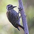 Abyssinian Woodpecker, crop.jpg