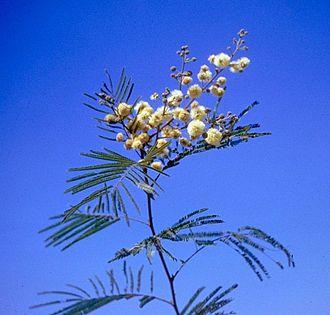 Senegalia berlandieri - Image: Acacia berlandieri branch