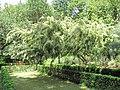 Acacia floribunda (Serres de la Madone).jpg
