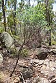 Acacia podalyriifolia tree.jpg