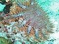 Acanthaster planci in Bohol (Philippines).jpg
