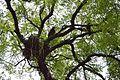 Accipitridae with Nest and Corvus on Azadirachta indica - Howrah 2013-06-07 9035.JPG