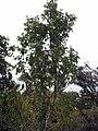 Acer cissifolium henryi 0zz.jpg