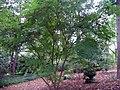 Acer palmatum amoemum 0zz.jpg