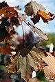 Acer platanoides Crimson King 2zz.jpg